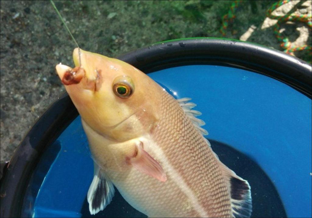 コブダイ(カンダイ)稚魚